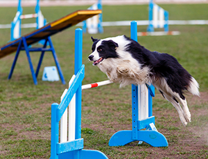 Dog in mid-jump on agility course