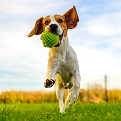 Beagle with ball