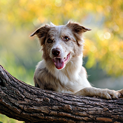 Border collie leaning on tree