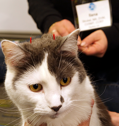 Cat receiving acupuncture treatment